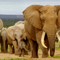 Saving Africa's Giants